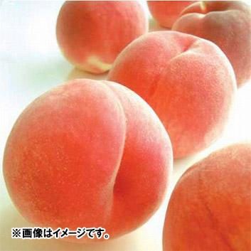 <新潟県産>白根白桃「新潟みらい一糖賞」2kg(6~7玉)