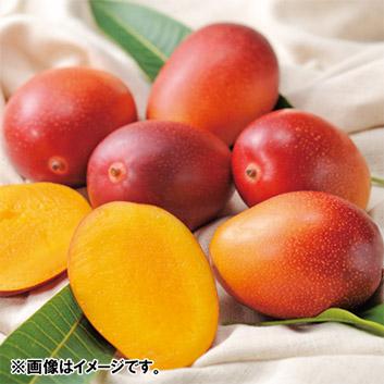 お買い得!!<熊本県産>手のひらミニマンゴー(4~8玉) 1kg