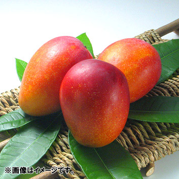<宮古島産>倫果樹園 アップルマンゴー秀品(2~4玉)1.2kg