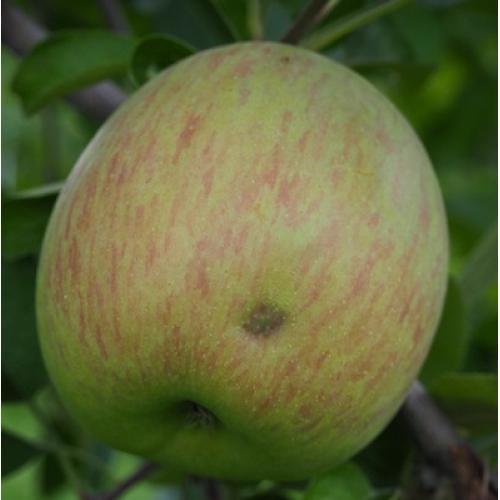 <星果樹園・福島県産>サンふじりんご 5kg