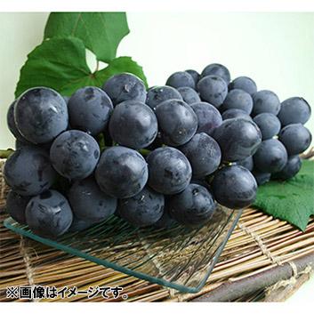 山形県産ぶどう ニューピオーネ 1.4㎏(2~3房)